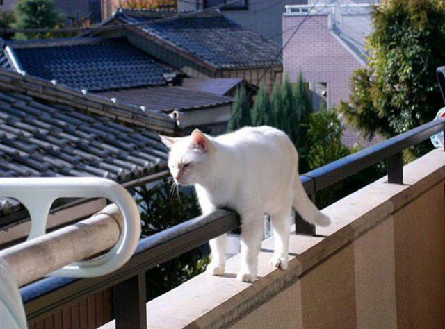 Коты гуляющие на балконе, так же могут заразится бешенством