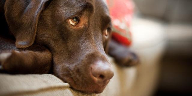 Собака может стать малоподвижной, вялой