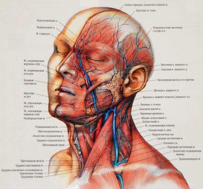 основные нервы и мышцы лица