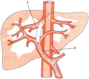Кровообращение печени