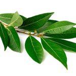 ветка лаврового дерева