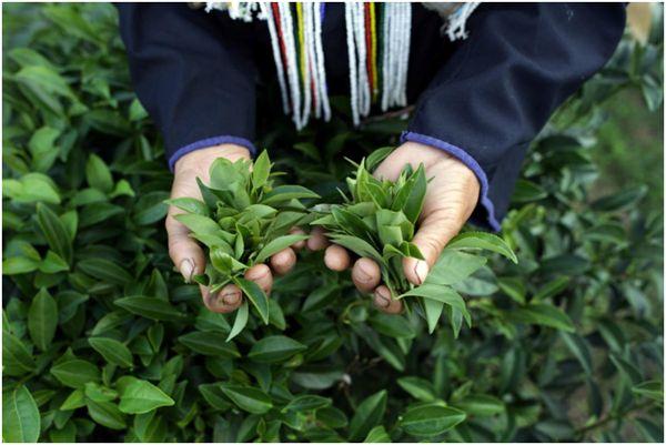 Синий чай родом из Китая