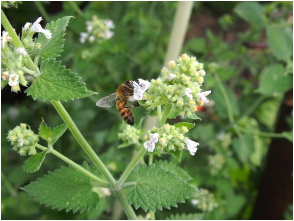 мелисса и пчела