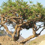 дерево мирры