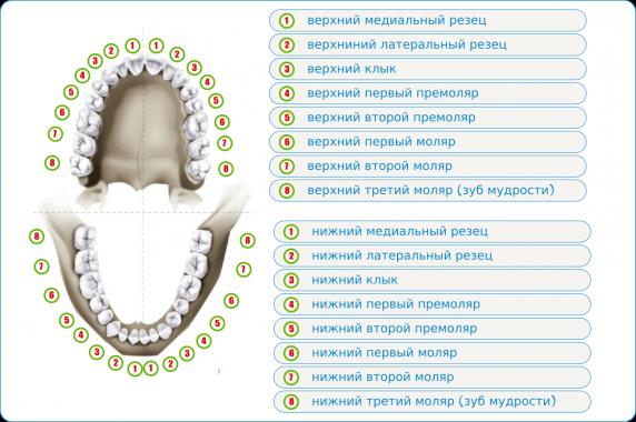 схема прорезывания коренных зубов у детей