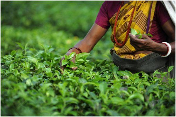 ручной сбор чайного листа