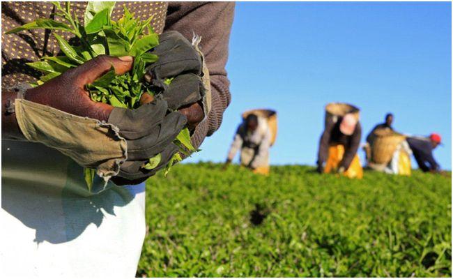 сбор листьев чайного куста