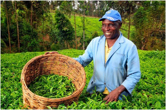 сборщик кенийского чая