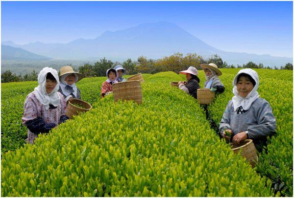 японцы на чайной плантации